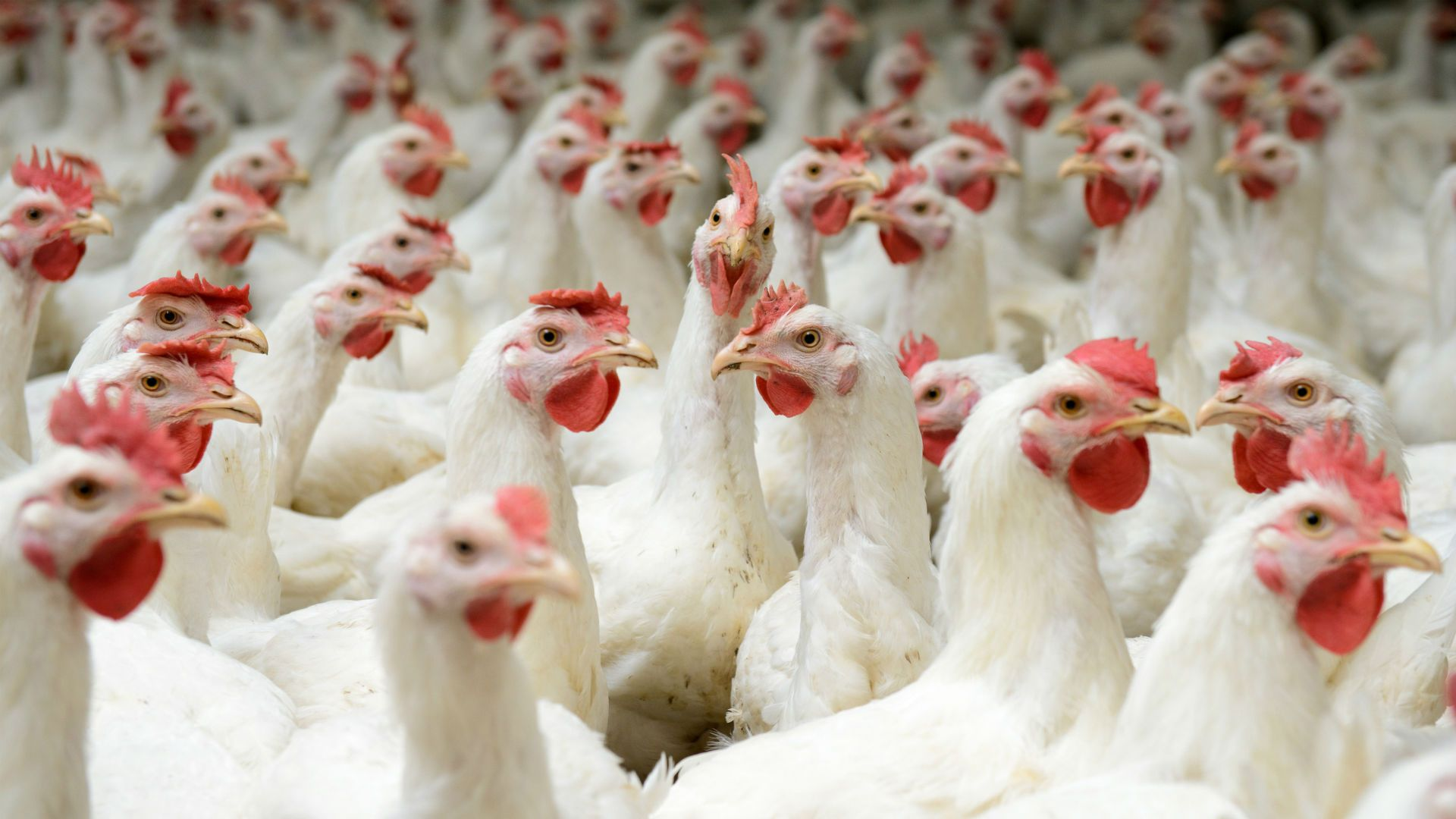header of poultry